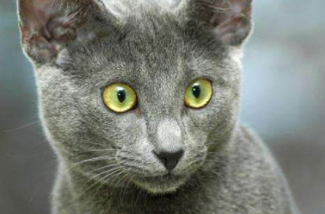 Cat-Burmese-Blue