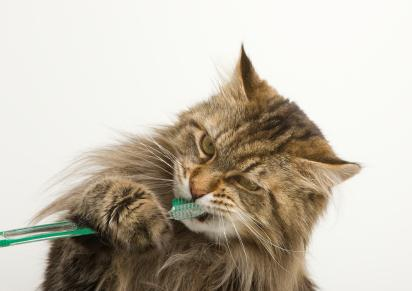 bushy-cat-with-toothbrush